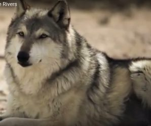 Releasing 14 Wolves In A Park. How wolves change rivers..