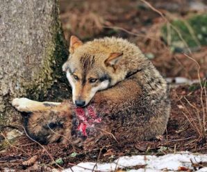 The Surprisingly Humanlike Ways Animals Feel Pain!! Wounded wolf licking its wounds after territorial fight