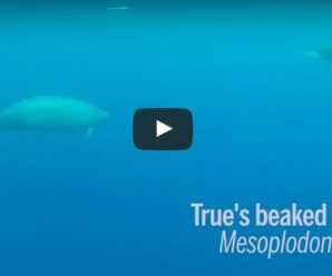 Planet's most elusive beaked whales!!! Watch it