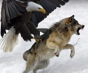 7 World's Largest Eagle Attack | Eagles vs. Bears vs. Fox vs. Humans