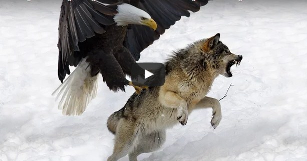 7 World S Largest Eagle Attack Eagles Vs Bears Vs Fox