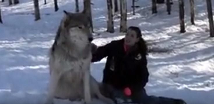 Wolf Plops Down