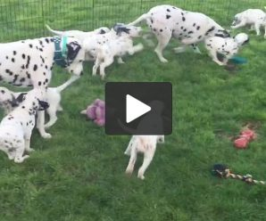 Mamma Dalmatian shows pups how to play fetch