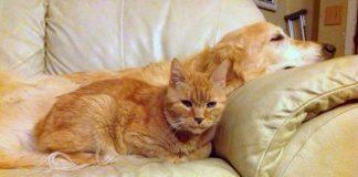 Ginger the golden retriever