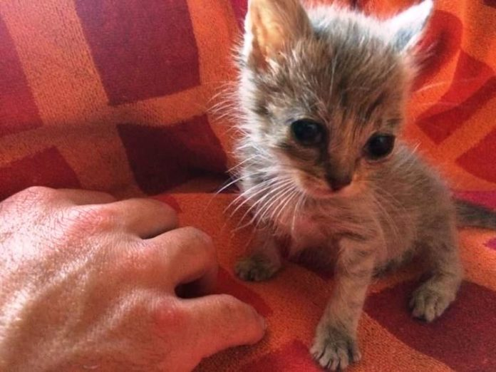 Image of: Kitten Season This Kitten Courierpost Abandoned And Covered In Ants This Kitten Needed Miracle To
