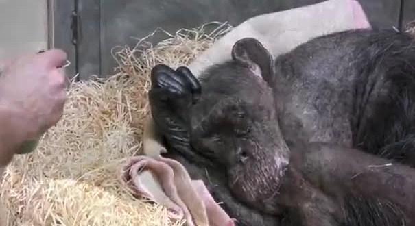 Dying Chimp