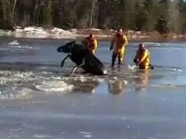 moose rescue