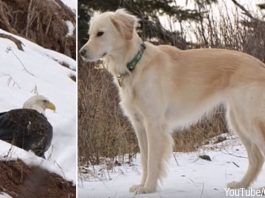 Bald Eagle Saved From Freezing To Death By Golden Retriever