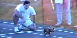 Smart Dachshund Does Whatever It Takes To Win The Dog Race