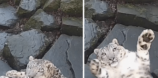 Snow Leopard Notices She's On Camera, Puts On Show