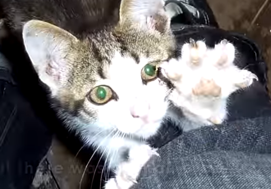 Abandoned kitten found and brought to home full of dogs – Their reaction is the CUTEST thing