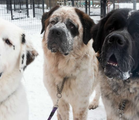 These Giant Fluffy Dogs Couldn't Find A Home — Because No One Wanted All Three