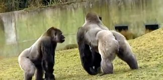 Gorilla Delights Zoo-Goers With His Human-Like Swagger
