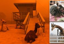 Animal rescuers help as California residents flee the deadliest wildfires on record