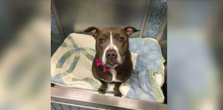 Pit Bull Hasn't Found A Home In 2 Years Because She's Scared Of Strangers