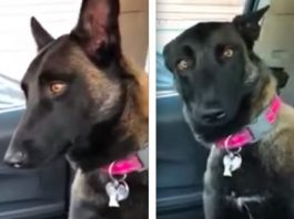 Funny German Shepherd Dog Reacts To The News She'll Soon Be A Big Sister