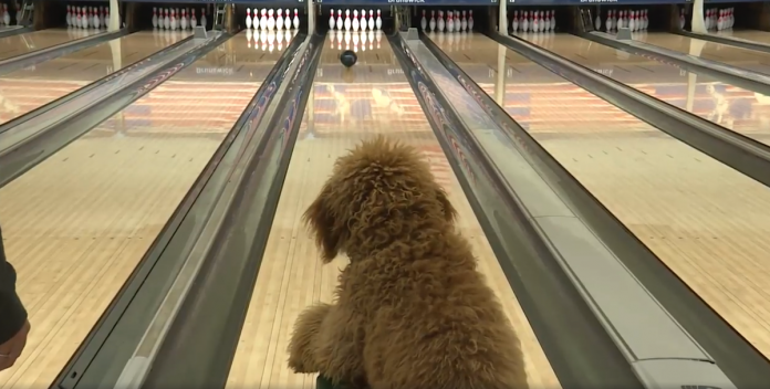 dogs bowling