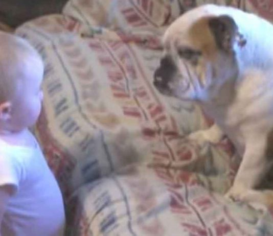 Baby has harsh words for family bulldog – now watch the unexpected reaction, it's absolutely wonderful!