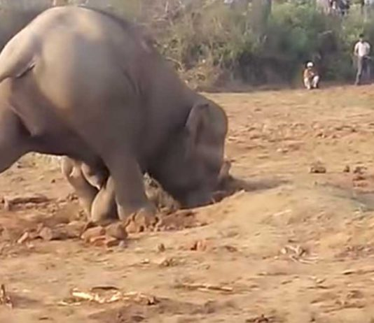 Elephant Digs 11 Hours To Save Baby