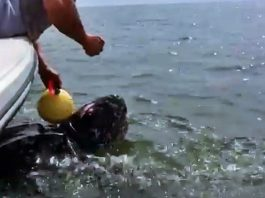 Police Rescue Off The Coast of Florida Saves This 9-Foot Giant's Life