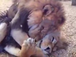 Two Lion Brothers Freed From Life Of Cruelty Embrace One Another