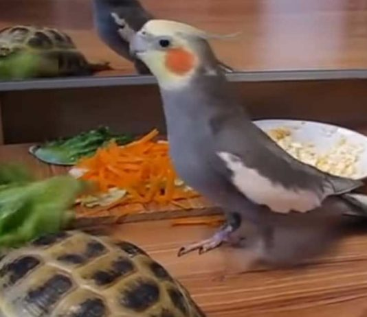 Cockatiel utterly loses it when he sees tortoise's reflection in mirror
