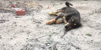 Disabled Dog Is About To Be Euthanized When He Shows Everyone He Wants To Live