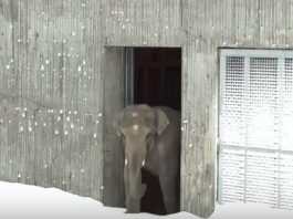 Zoo Closed After Huge Snow Storm, Cameras Capture Animals Magically Playing In Snow