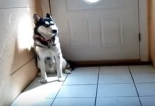Siberian Husky Crying