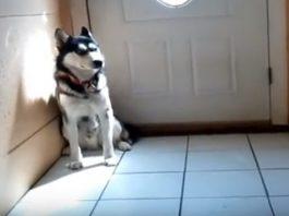 Siberian Husky Crying