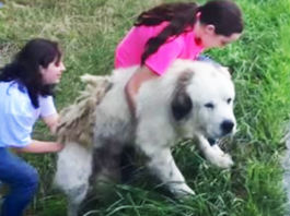 abandoned Great Pyrenees