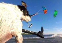 Kitesurfing Dog