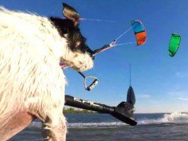 Kitesurfing Dog