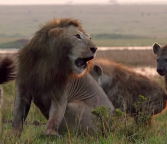 Lion Battle