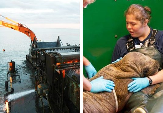 Gold Dredgers Discover An Adorable 120-Pound Stowaway On Their Ship