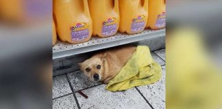 Stray Chihuahua