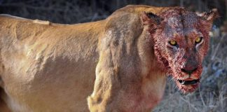 Lions Eat A Group Of Rhino Poachers Alive In South African Game Reserve – PAWS PLANET