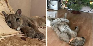 Meet Messi, The Adorable Puma Is Living As A Spoiled House Cat – PAWS PLANET
