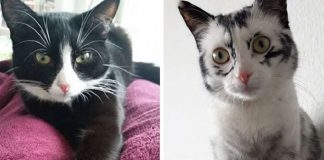Rescued Cat Changes Color Fur Due To Vitiligo And Now She Looks Like A Completely Different Cat – PAWS PLANET