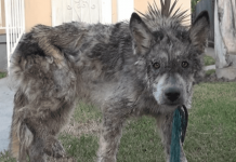 DNA Test Reveals Truth Behind 'Stray Wolf'