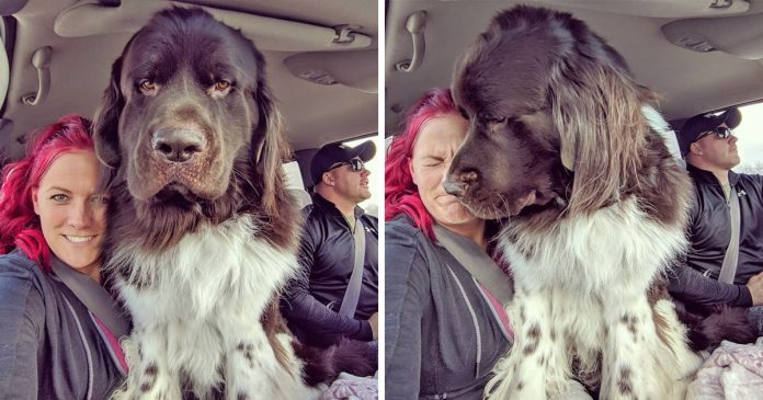 20+ People Who Dreamed of Having a Big Teddy Bear at Home, So They Got a Newfoundland Dog – PAWS PLANET