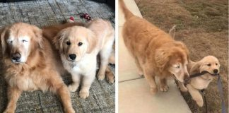 Blind Dog Has His Own 'Seeing-Eye' Puppy To Show Him The Way – PAWS PLANET