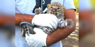Heart-warming Reunion Of Lost Leopard Cubs Who Found Crying In Sugarcane Field – PAWS PLANET
