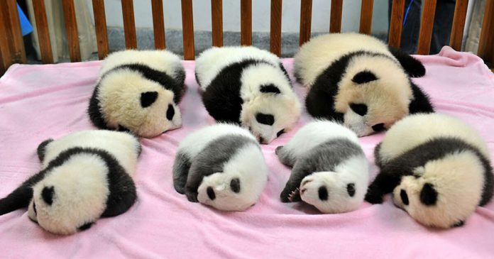 "Panda ""Daycare"" Is Real And It's Probably The Most Adorable Place On The Earth – PAWS PLANET"