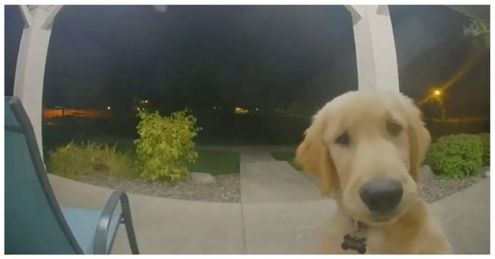 Puppy Instantly Regrets His House Escape Attempt, Then Rings Doorbell To Get Back Inside – PAWS PLANET