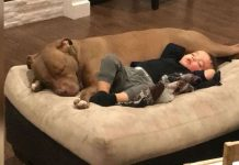 Sick Little Boy Doesn't Want Anyone To Comfort Him – Except Rescue Pit Bull – PAWS PLANET