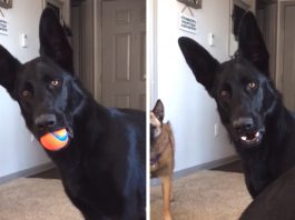 Dog hears a child crying for the first time and is left in disbelief