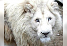 Trophy Hunters Won't Stop Trying To Get This White Lion