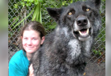 People Are Breeding Wolf-Dogs Without Knowing The Consequences