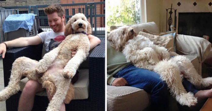 30 Hilarious Photos Of Goldendoodles Will Make You Want To Adopt Them Right Now – PAWS PLANET